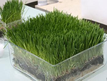 Wheat grass centerpiece