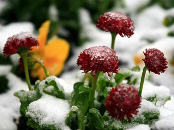 Flowers covered with frost