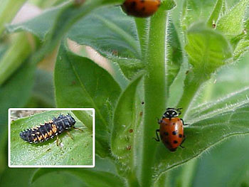 Ladybug and ladybug larva