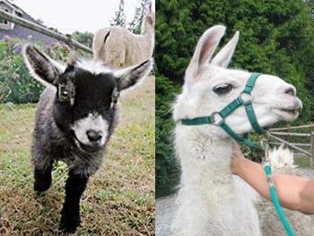 Pygmy goat and llama