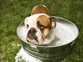 bulldog in a bath