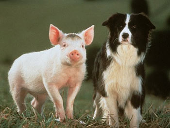 Babe and Fly, a sheepdog