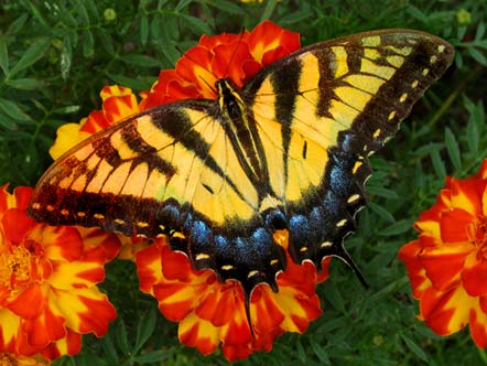 Butterfly on flowers in Pleasant View, Tennessee