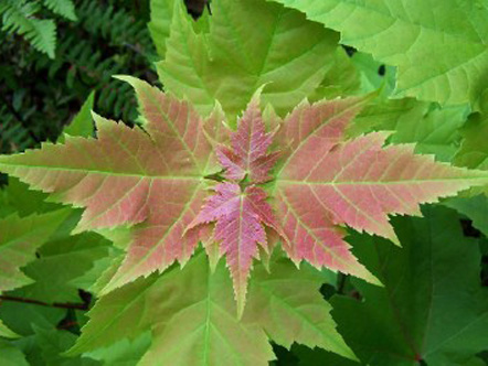 Maple leaf in Algonquin Provincial Park, Ontario, Canada