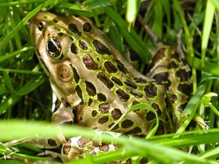 Frog in Lancaster, Ontario