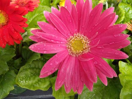 Pink daisy in Schaumburg, Illinois