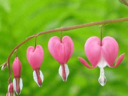 Pink flowers in Minneapolis, Minnesota