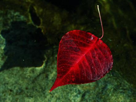 Red leaf in Niyodogawa, Japan
