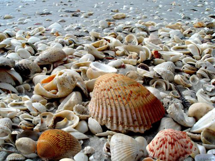 Shells on the beach in Sanibel Island, Florida.