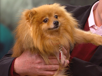 H.B., a rescued Pomeranian