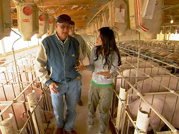 Sows in gestation stalls