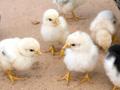 Heifer chicks
