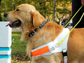 golden retriever work dog